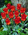 Tulip14RedRidingHoodG[1]
