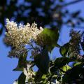 600px-Ehretia_acuminata_fleur[1]