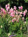 450px-Ixia_African_Corn_Lilies[1]