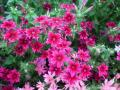 800px-Star_Phlox_(Phlox_twinkle)_from_Lalbagh_Flowershow_-_August_2012_4699[1]