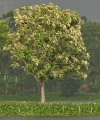 Tree_in_new_leaves_(Tectona_grandis)_I_IMG_8133[1]
