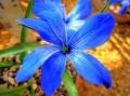 800px-Tecophilaea_cyanocrocus_(Liliaceae)_flower_HDR[1]