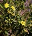 Suriana_maritima_flowers[1]