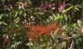 Eurycoma_longifolia_1[1]