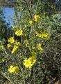 Rhigozum_obovatum_in_flower_Bignoniaceae_7434s[1]