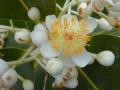 800px-Starr_010309-0546_Calophyllum_inophyllum[1]