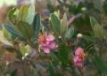 Rhodomyrtus_tomentosa_1[1]