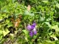 Maurandya_antirrhiniflora_Starr-130313-2506[1]