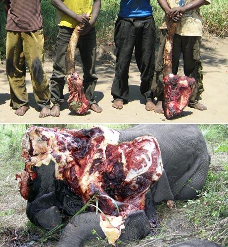 080505-elephants-ivory_big.jpg