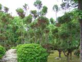二条城の庭園の木