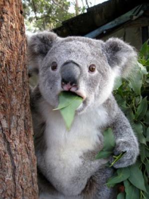 コアラもびっくり