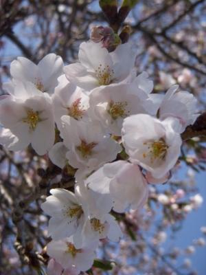 桜0428