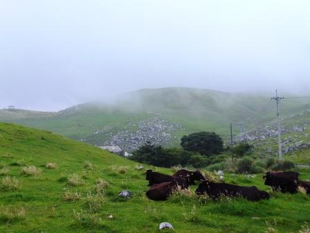 カルスト台地と牛