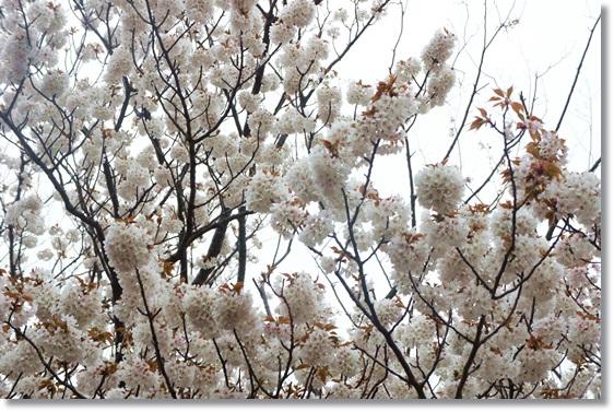 桜も咲いてるし
