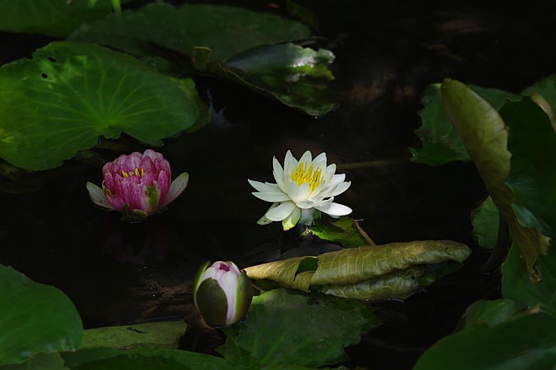 開花途中の睡蓮たち