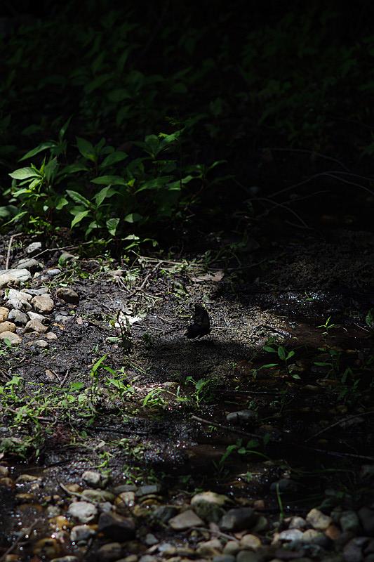 森の中にクロアゲハ