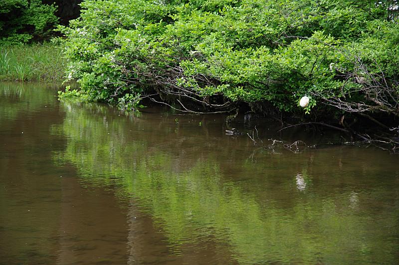 モリアオガエルのタマゴ