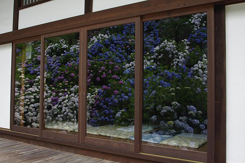 ガラス窓に映る紫陽花