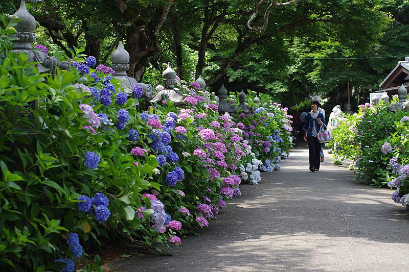 参道を彩る紫陽花