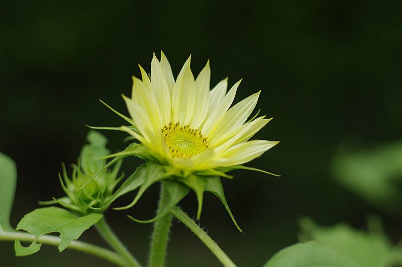 小さな向日葵