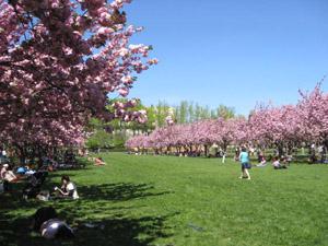 Botanical gardenの桜祭り1