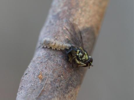 フタスジヒラタアブ幼虫か