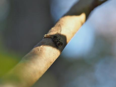 フタスジヒラタアブ幼虫か2