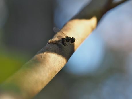 フタスジヒラタアブ幼虫か3