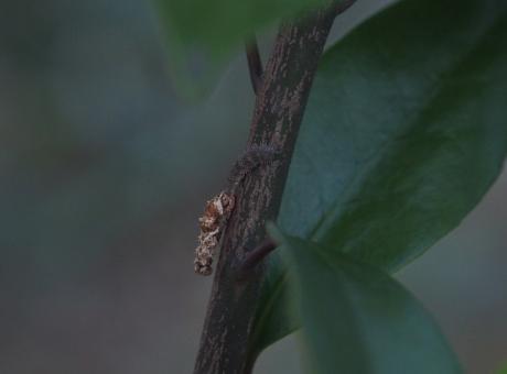 フタスジヒラタアブ幼虫か4