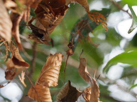 イセキグモ卵嚢