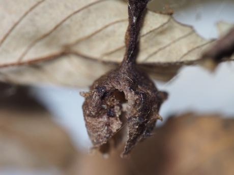 イセキグモ卵嚢空2