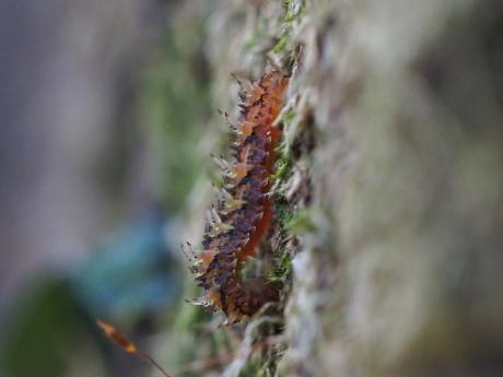 ミカドシリブトガガンボ幼虫か2