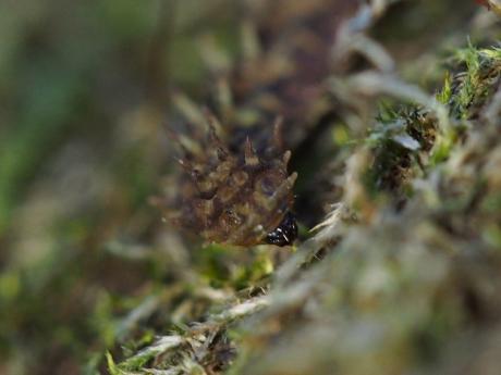 ミカドシリブトガガンボ幼虫か4