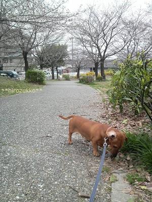 26日の桜