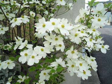 花水木2012