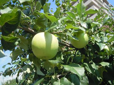 りんご並木2