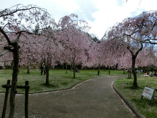 2013,04,08 桜前線北上中 037