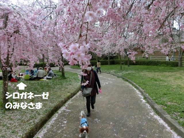2013,04,08 桜前線北上中 042