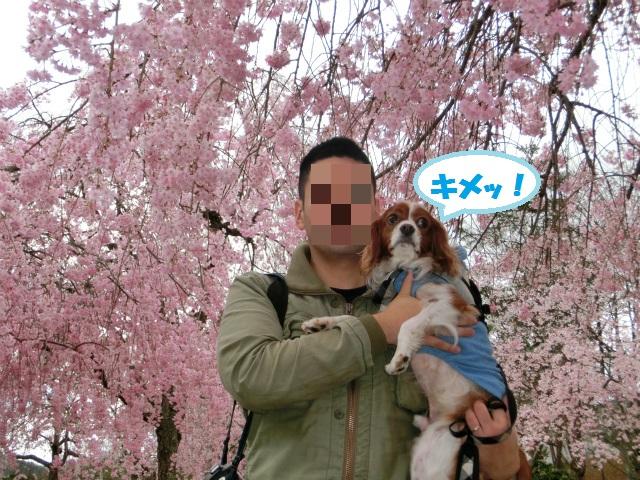2013,04,08 桜前線北上中 047