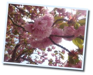 20120509遠足 八重桜