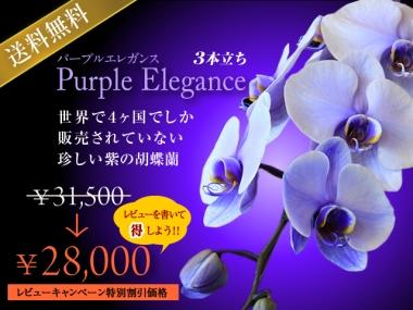 紫の胡蝶蘭(パープルエレガンス)