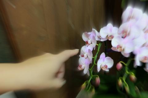 お正月花 胡蝶蘭