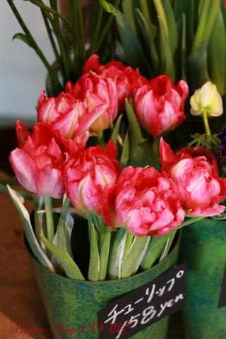 春の花 チューリップ