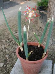 2012.05.05 ねぎ再生栽培の様子1.jpg