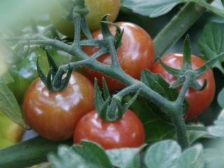 2012.06.14_ばあちゃんのミニトマトの様子2
