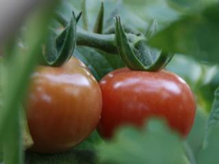 2012.06.14_ばあちゃんのミニトマトの様子3