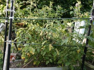 2012.06.14_ばあちゃんのミニトマトの様子1
