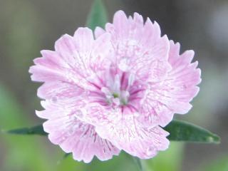2012.06.21 長男なでしこ開花