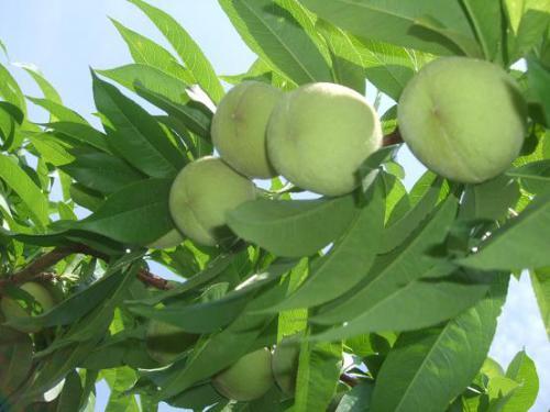 林檎・桃・桃15