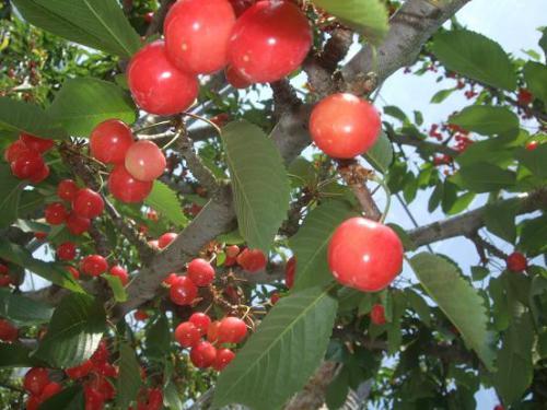 林檎・桃・桃5